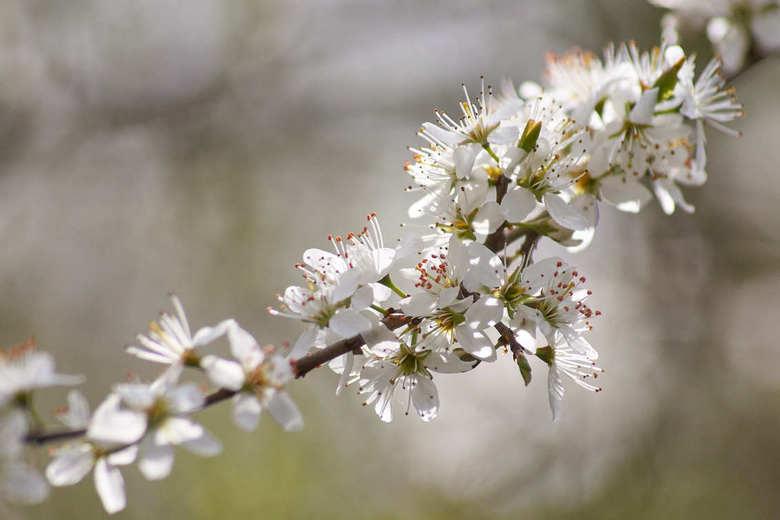 sleedoorn - Sleedoorn in bloei.