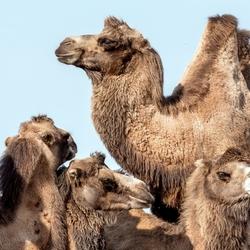 Kamelenonderonsje