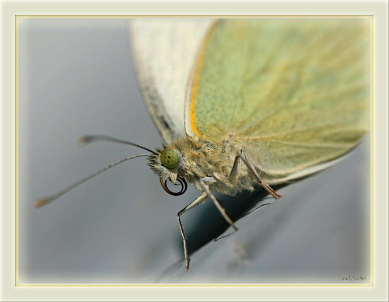 even opgefrist... - Deze vlinder werd door mijn dochter gered uit het zwembad... voor mij een buitenkansje want hij moest even drogen op het tafeltje