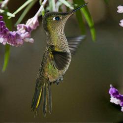kolibrie in z'n bloementuin