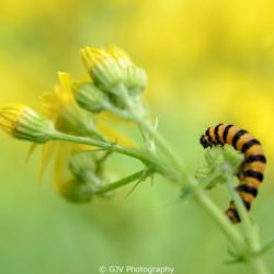 Yellow stripes or black stripes?