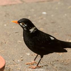 Merel in zwartwit