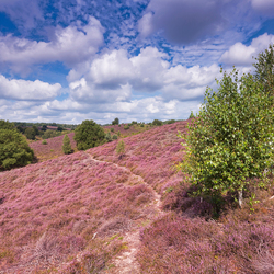 Heide in bloei op de Posbank