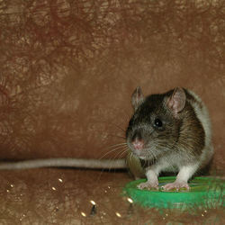 Rat = Art