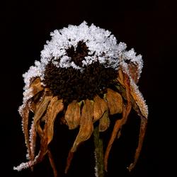 Besneeuwde bloem