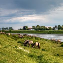 Paarden langs de Maas