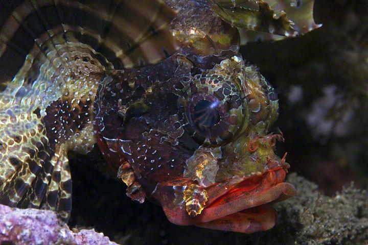 Schorpioenvis - Jonge Schorpioenvis (20cm) zet zijn vinnen op om groter te lijken.<br /> foto is gemaakt tijdens een duik in Bitung, Noord-sulawesi i