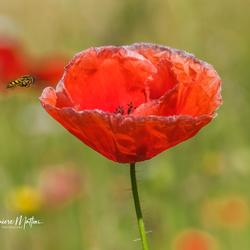Fly into the Poppy
