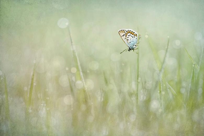 Heideblauwtje - Even wat spelen met twee foto's over elkaar...