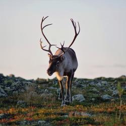 Lapland Levi rendier