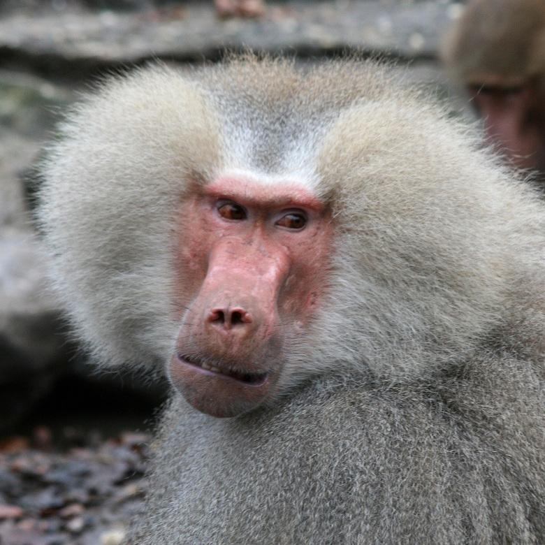 Pasop Jij - Deze blik voorspeld niet veel goeds, het rommelde behoorlijk in het groetje bavianen. Iets was het wat hem niet zinde.
