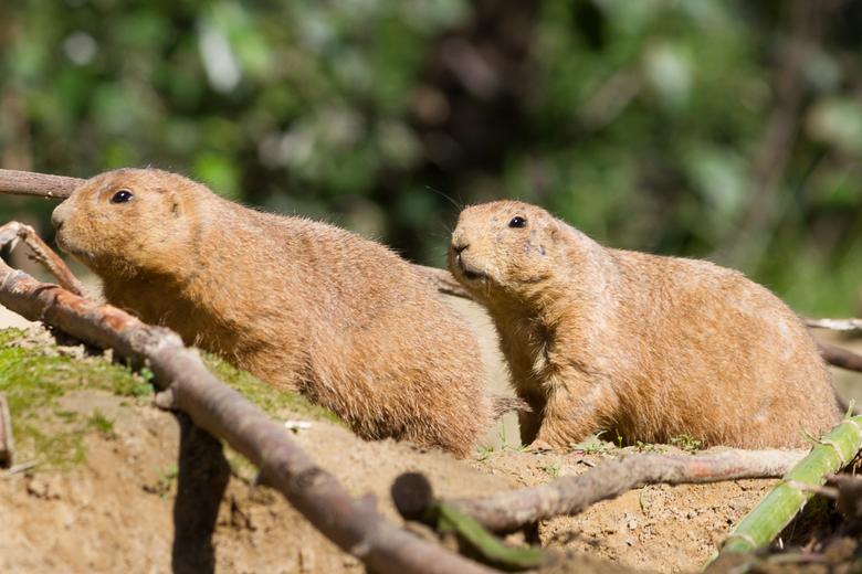 Prariehond - De prairiehond leeft op de prairies van Noord-Amerika. Daar leeft hij in ondergrondse holen.