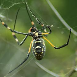 Afrikaanse spin