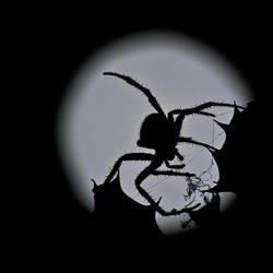 Kruisspin bij maanlicht