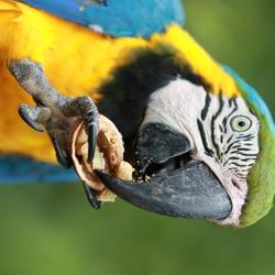 Parrot Cerza France