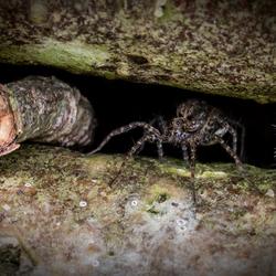 Lugubris Wolf spider (Pardosa lugubris)