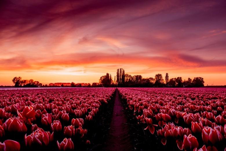 Tulpenveld in Aerdt