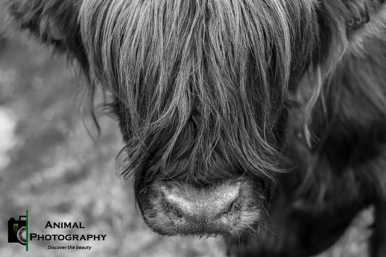 Zien - Een mooie bison midden in een woonwijk! Beschermt natuurgebied