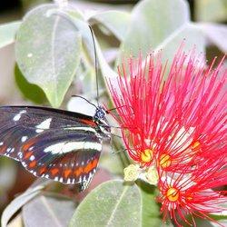 etende vlinder in Costa Rica