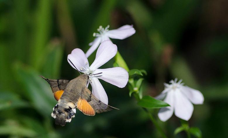 Kolibrievlinder op zeepkruid - De kolibrievlinder[1] (Macroglossum stellatarum) is een vlinder uit de familie pijlstaarten (Sphingidae). <br /> De ko