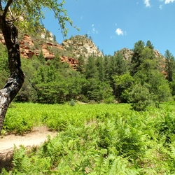 Fern field at Sedona