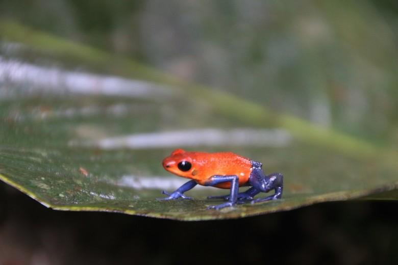 Blue Jeans dart frog -