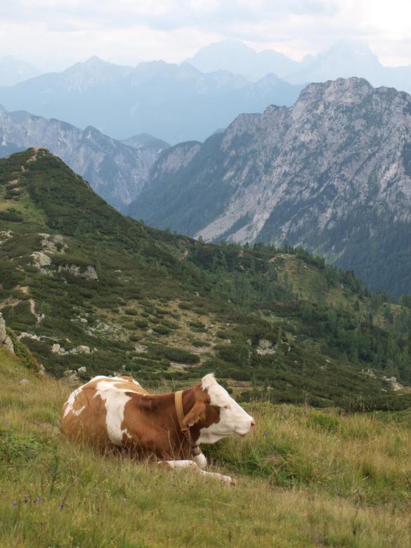 Effe liggen hoor... - Deze koe geniet liggend van het uitzicht op de Tressdorfer Alm bij Nassfeld-Hermagor, Oostenrijk
