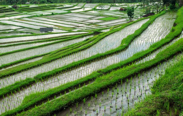 Rijst terrassen - De rijstterrassen van Jatiluwih, Bali