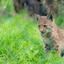 Europese lynx - 2mnd oud