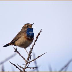 Zingende Blauwborst op Texel