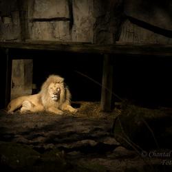 Witte leeuw in Dierenpark Ouwehands Rhenen 8 maart 2015