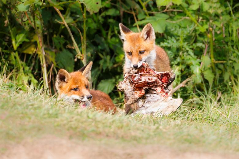 Eet smakelijk! - Afgelopen voorjaar een heerlijke middag beleeft bij een vossenfamilie. Hier spelen de jongen wat met een wilde eend.