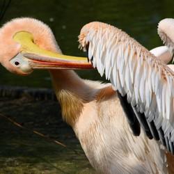 lente voor pelikaan
