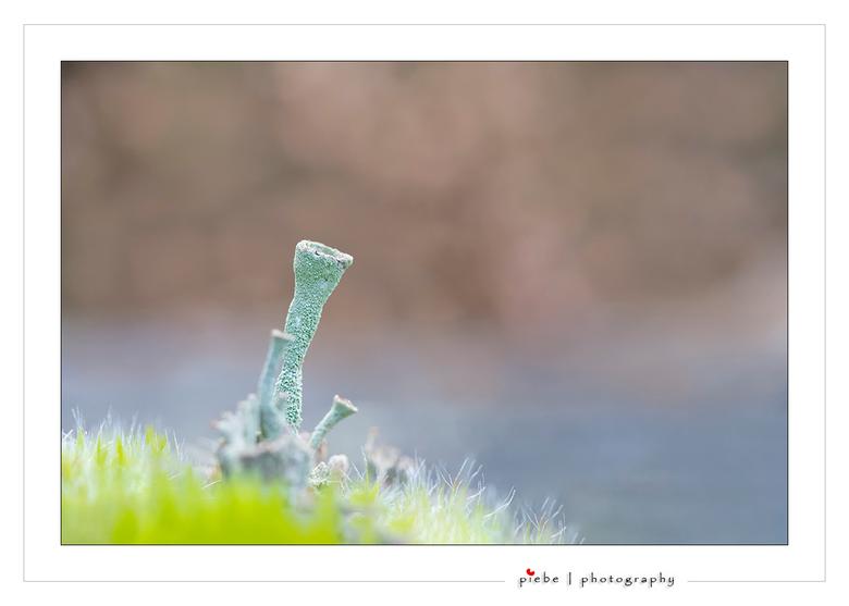 """Beker mos - Hier een foto van een bekermos... behorend tot de korstmossen...<br /> <br /> Groet  <a href=""""http://www.piebevandenberg.nl"""">http://www."""