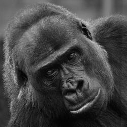 Gorilla - Mentoraat 1