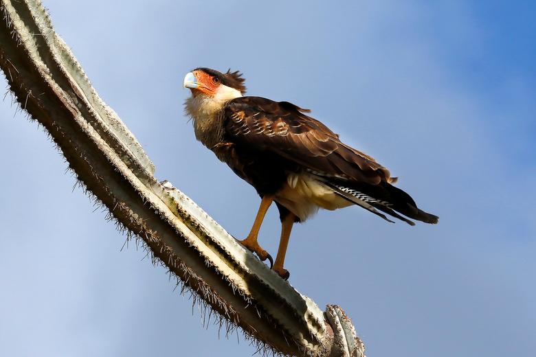 Kuifcaracara - Aparte en forse roofvogel die ook veel over de grond loopt (heeft geen last van tere pootjes)