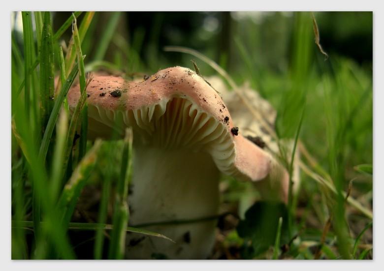 Mijn eerste paddo in 2009 - Ik wist niet dat paddestoelen er al in augustus zijn.<br /> In Udenhout gevonden