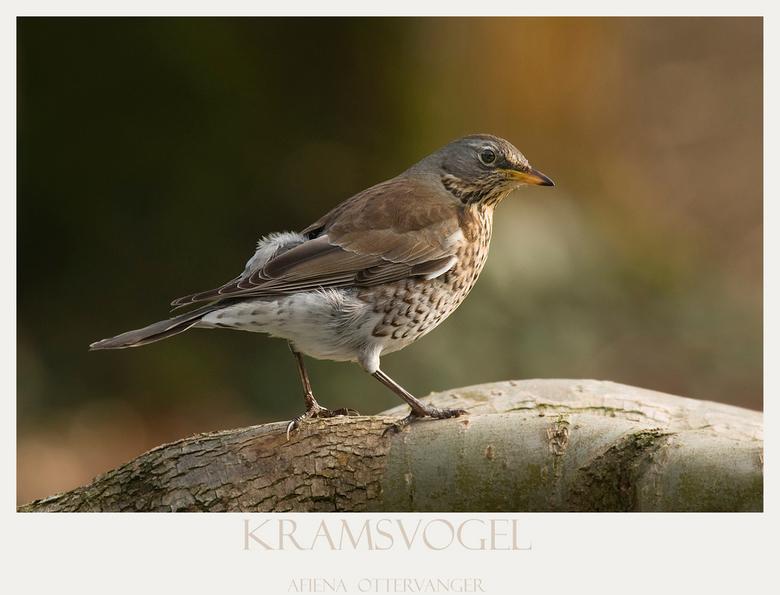 Kramsvogel - Het is al even geleden dat ik mijn camera uit de tas heb gehad maar toen afgelopen week een kramsvogel geregeld een bezoekje aan onze tui