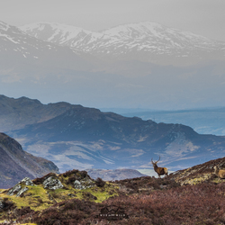 Edelherten op The South Loch Ness Trail.