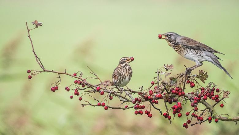 Kraamsvogel & Koperwiek
