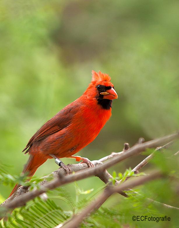 Rode kardinaal - Sigaartje?