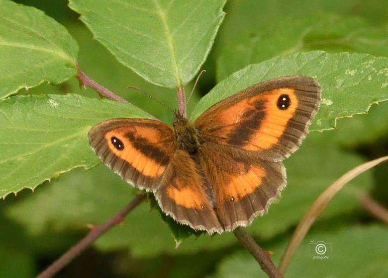Oranje Zandoogje - Een opname van een bijzondere vlinder genaamd het &quot; Oranje Zandoogje &quot; <br /> <br /> * hopelijk heb ik de juiste naam k