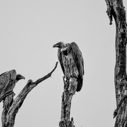 de portiers van Kruger National Park (zwart-wit)