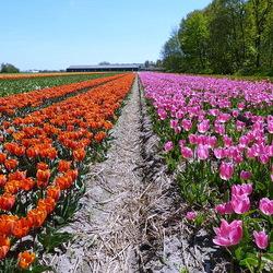 tulpenveld Noordwijkerhout