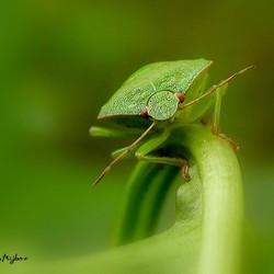 Groene Schildwants