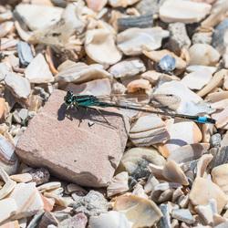 Blauwe juffer op schelpenpad