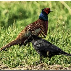 De fazant en de kraai.