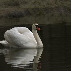 Witte zwaan