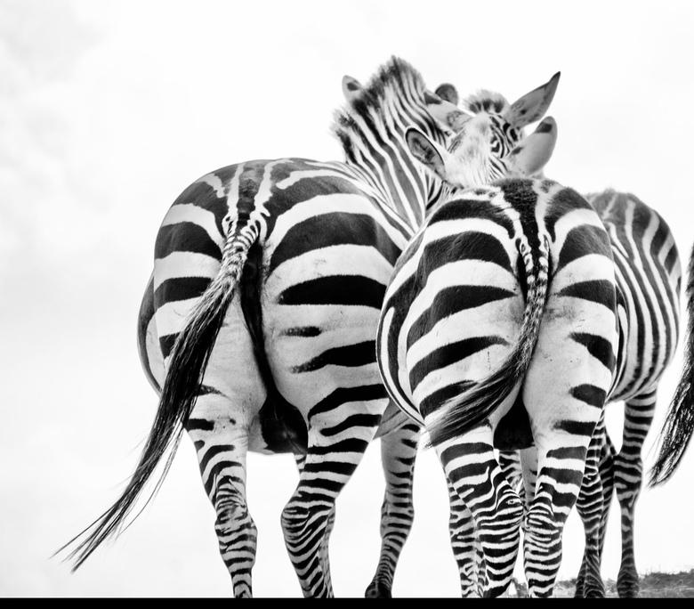 Zebra zwart/wit.  Black&white -