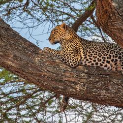 Luipaard op een tak